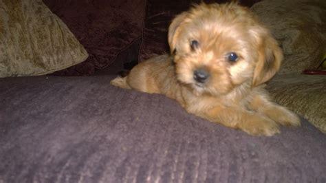 is a shih tzu a terrier shih tzu x puppies milton keynes buckinghamshire pets4homes