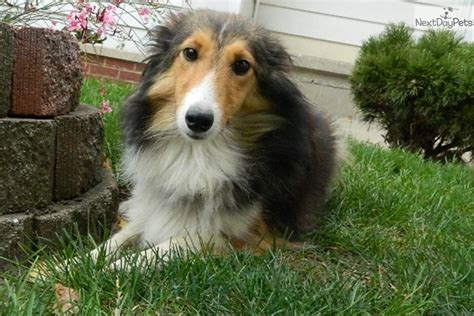 sheltie puppies for sale in indiana shetland sheepdog sheltie puppy for sale near south bend michiana indiana
