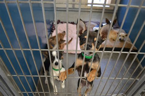 maricopa county shelter with overabundance of chihuahuas in shelters groups exporting them cronkite news