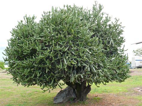 Kaktus Hias Euphorbia Lactea Ka53 fichier cactus tronc kourou jpg wikip 233 dia
