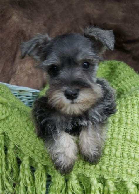 miniature schnauzer puppies ohio best 20 puppy images ideas on
