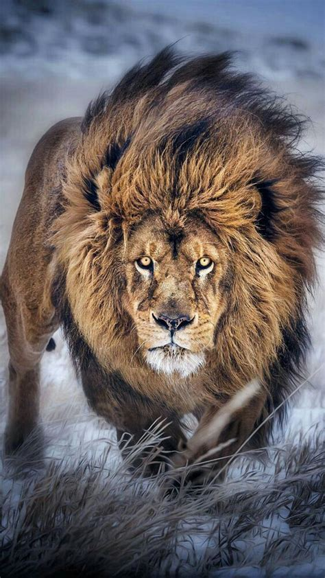 Lion Wallpaper Pinterest | best 25 lion pictures ideas on pinterest lion cat the