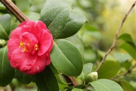 gardenia giardino gardenia come coltivarla in giardino