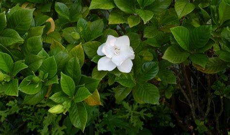 grow  care  gardenia flower home  gardens