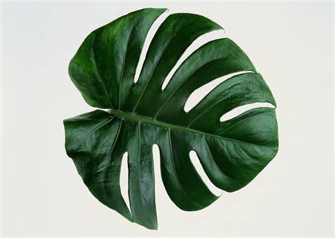 wallpaper daun palma stock photo gambar daun set 01 seni rupa