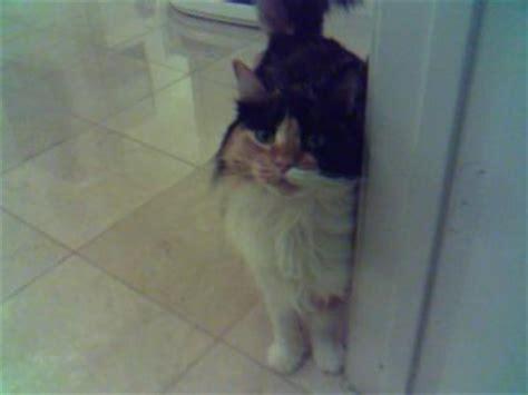 cat peeing in bathtub calico peeing on my bath mats