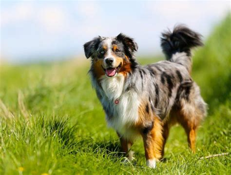 types of purebred dogs 17 of the most high maintenance breeds to own