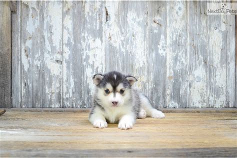 mini pomsky puppies for sale mini sky pomsky puppy for sale near columbus ohio f784280a d6c1