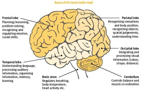 brain and its parts with diagrams the brain controls our every thought and this