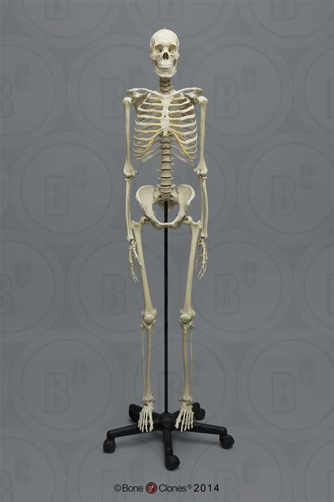 human male asian skeleton articulated bone clones