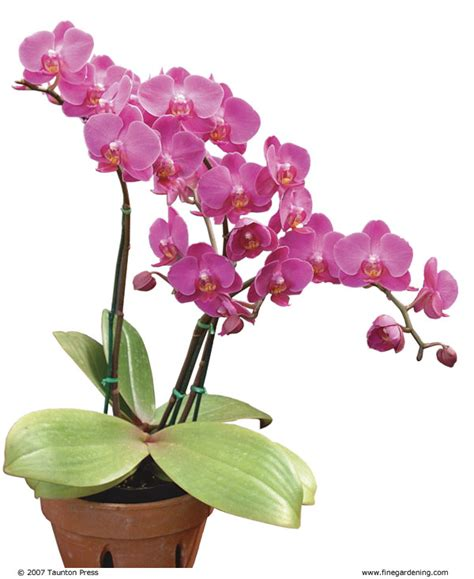 Orchid Plant Success With Orchids Indoors Gardening