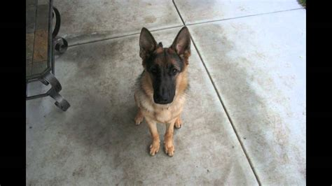 what to feed 8 week puppy from an 8 week puppy to a 1 year german shepherd owner took one photo of his