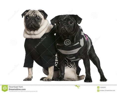 pug 2 months two pugs 2 years and 10 months standing stock photography image 15359322