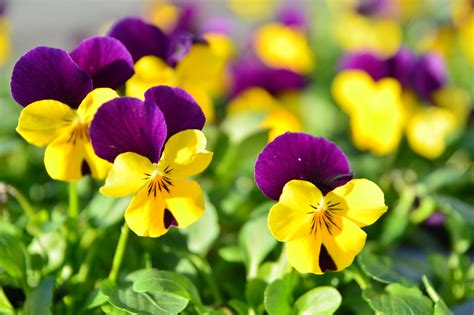pansy flowers hd wallpaper flowers wallpapers