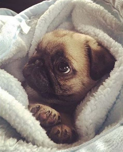 pug cozy the 25 best baby pugs ideas on baby pugs baby puppies and pug puppies