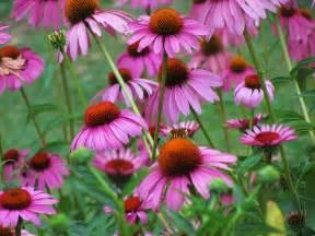dr dan s garden tips a cornucopia of coneflower