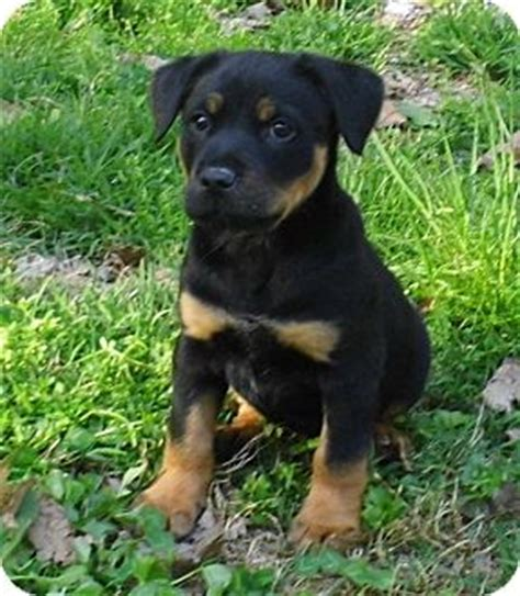 rottweiler puppies for adoption in md vaider adopted puppy bel air md rottweiler mix