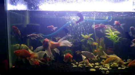 Lu Aquarium Ikan Hias aquarium ikan hias