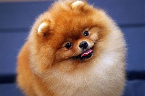 what do pomeranians eat dogs ranked