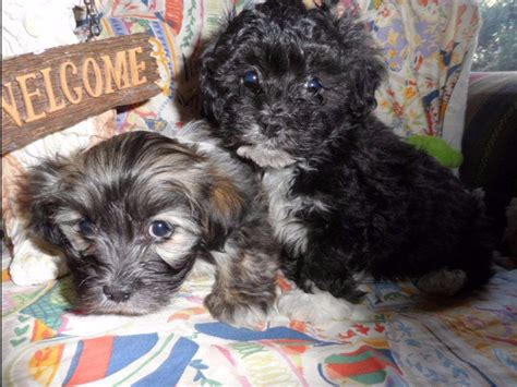 akc havanese breeders of merit havanique havanese breeders martinsburg wv