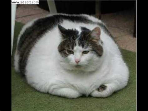 the world s fattest cat youtube