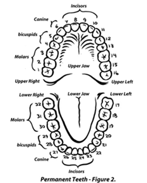 permanent teeth diagram illustration and scientific illustration courtroom
