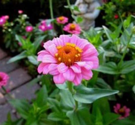 Tanaman Jadi Bunga Zinnia Pink cara menanam bunga zinnia dari biji dengan mudah