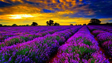 field lavender purple flowers sunset orange sky clouds hd