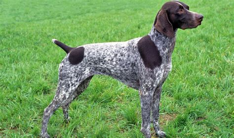 setter dog short hair german shorthaired pointer dog breed information