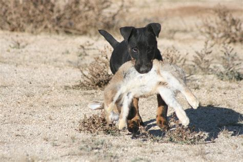 coyote vs coyote mix coyote wolf german shepherd coyote mix coyote attacks breeds picture