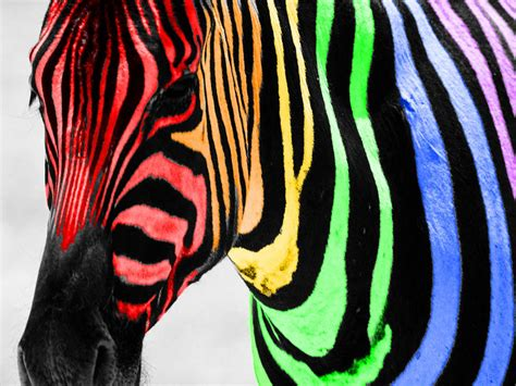 cool zebra wallpaper rainbow zebra color splash wallpaper at mywallpapergalaxy com