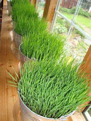 Garden Of Wheatgrass 1000 Images About Canadian Gardens On