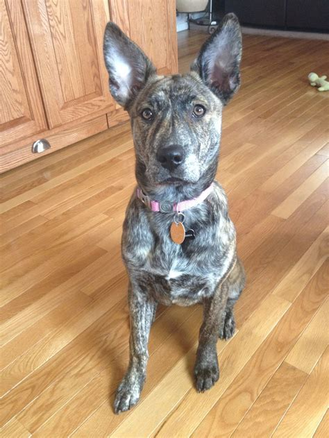 pitbull german shepherd mix german shepherd husky pitbull mix 5 months brindle puppy looks like my grey
