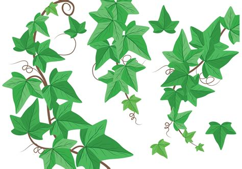 ivy vine vectors download free vector art stock