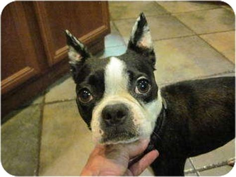 boston terrier puppies for adoption boston terrier rescue dogs for adoption breeds picture