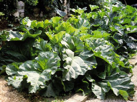 rhabarber pflanzen wann rhabarber umpflanzen rhabarber pflanzen tipps zur pflege