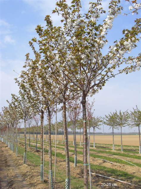 Schnell Wachsende Bäume 3490 by Schnell Wachsenden Baum Kaufen Zierkirsche Taihaku Mr