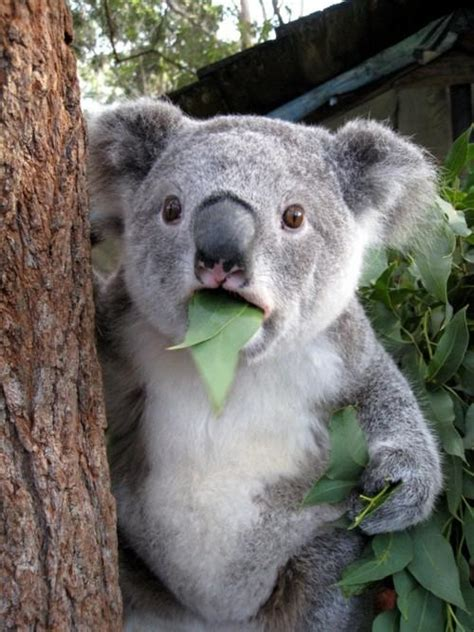 High Koala Meme - surprised koala latest memes imgflip