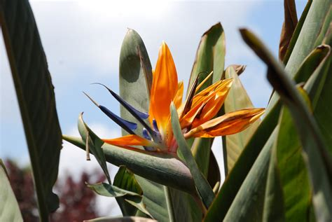 how to grow bird of paradise plants from seed the garden