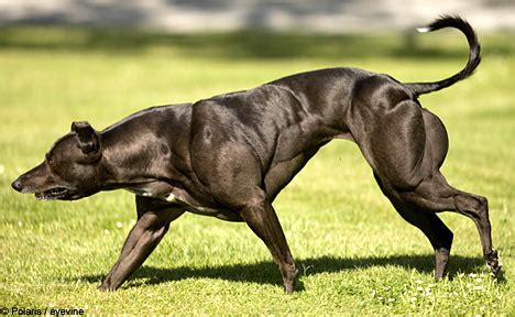 dogs on steroids anabolic steroids isteroids 187 greyhound racing