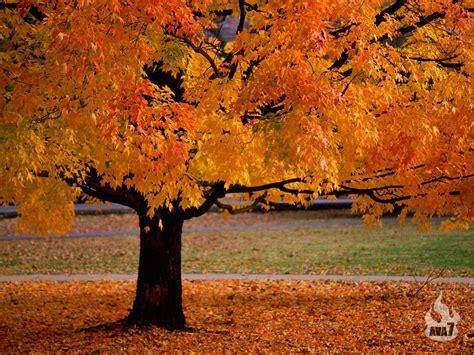 beautiful trees beautiful autumn season wallpapers hd nice wallpapers