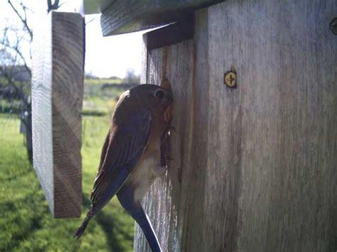 house wrens discouraging wren guards