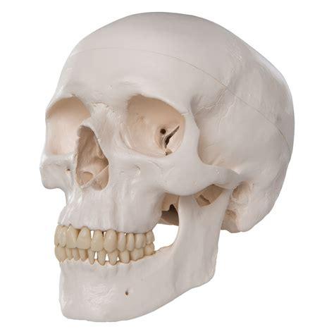 Classic Human Skull Model A20 3b Scientific Model Skull Skull On