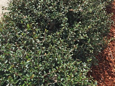 ilex woodworking plants for dallas your source for the best landscape