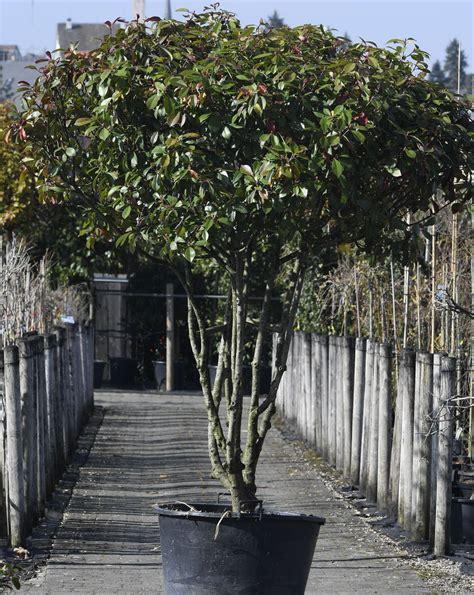 parrotia persica kaufen 1181 parrotia persica kaufen eisenholzbaum parrotia
