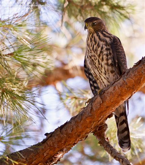 detailed information  coopers hawk accipiter cooperii