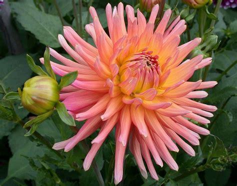 pink dahlias flickr jpeg dahlia shirley alliance cactus more cactus dahlias photos orange and