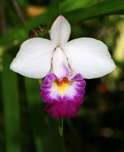 Pressed Flowers Arundina Graminifolia Bamboo Orchid Hawaiian Plants And Tropical Flowers