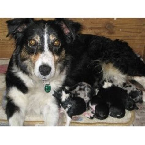 border collie puppies ohio sters border collies border collie breeder in lebanon ohio