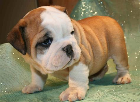 when are puppies fully grown bulldog teacup grown www imgkid the image kid has it